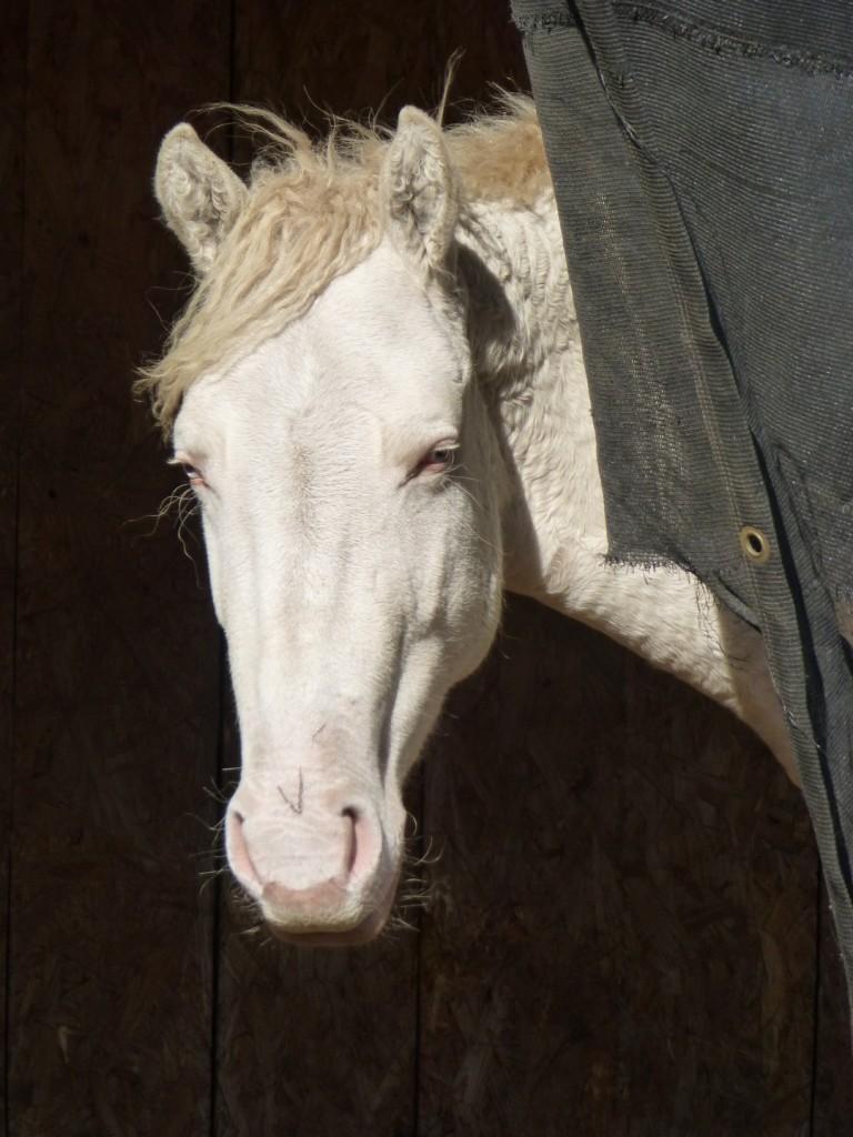 ... das Curly Horse!